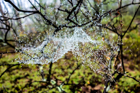 Water drops on a spider web in the forest after rain. Nature in the spring forest.