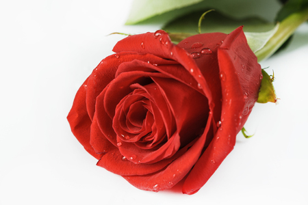 Beautiful red roses on a white background Stock Photo