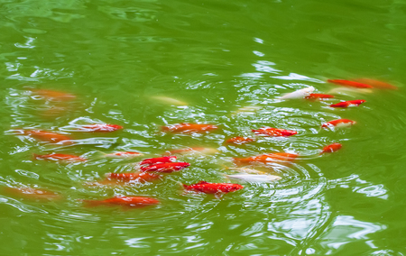 Fishes in the pond. Decorative domesticated fish - red and white carp. Koi lovers associations