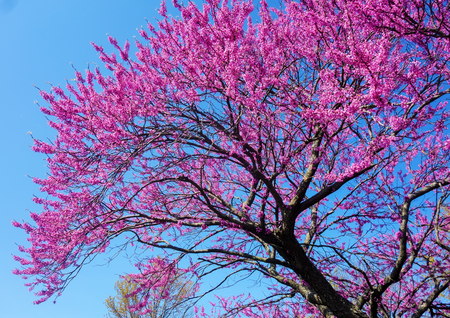 Cercis canadensis (Eastern redbud) is a large deciduous shrub or small tree, native to eastern North America from southern Ontario, Canada south to northern Florida but which can thrive as far west as California. It is the state tree of Oklahoma Zdjęcie Seryjne