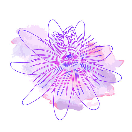 Isolated hand drawn purple outline flower of passionflower, passiflora on pink violet watercolor spot. Print of curve lines