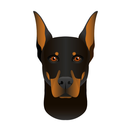 Isolated colorful head and face of doberman pinscher on white background. Line color flat cartoon breed dog portrait. Illustration