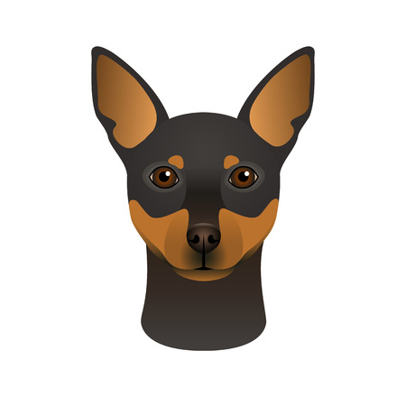 Isolated colourful head and face of miniature pinscher on white background.