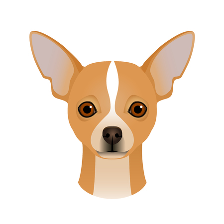 Isolated colourful head and face of chihuahua on white background.