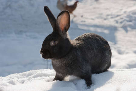 rabbit in to snow