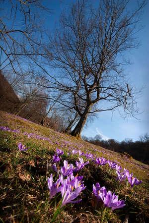 landscape with crocuses and tree. Ukraine, Carpathians. photo