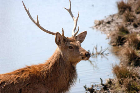 water has a deer on the riverside Stock Photo