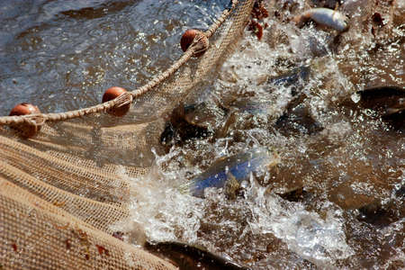 commercial fishing net: Fishing Net in water. fishing of trout