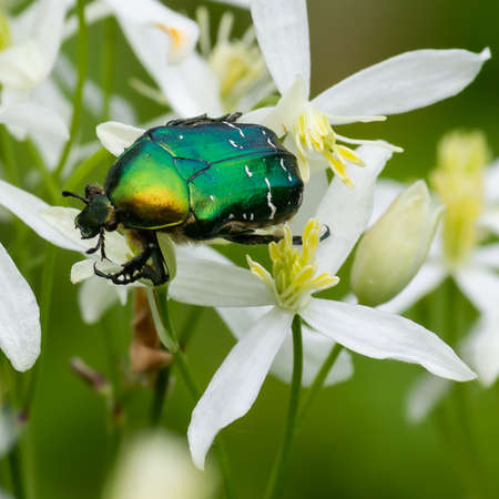 beetle on white wildflowers close up on a green background Stock Photo