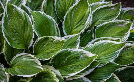 green leaves of plants in the garden. texture Standard-Bild