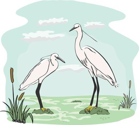 egret: Two herons in the marsh Illustration