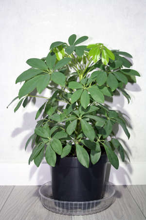 Schefflera with new young leaves. Houseplant background. Space for text.