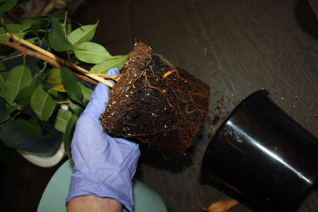 Transplanting ficus into a new pot of a larger size. Background for text. Stock fotó