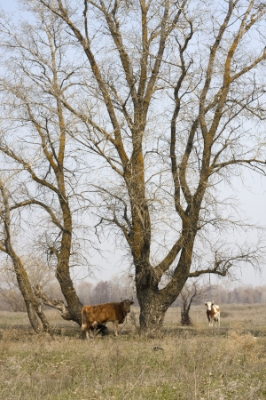 dry cow: Cows under the tree