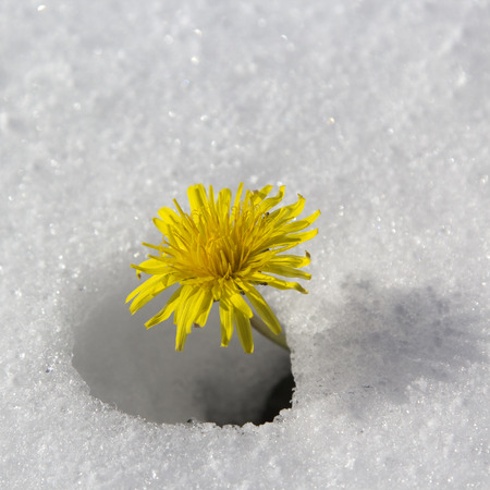 Dandelion flower in the snow. photo