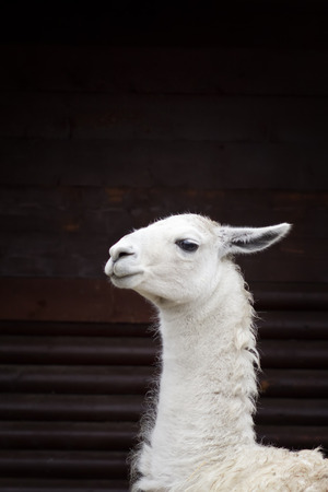 The head  of white llama. photo