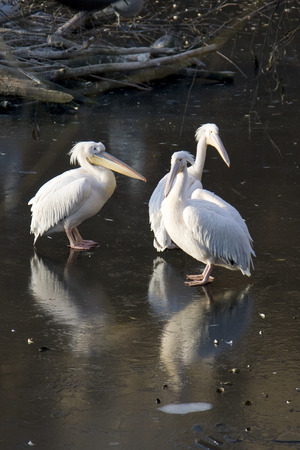 pelicans: Three pelicans on the ice