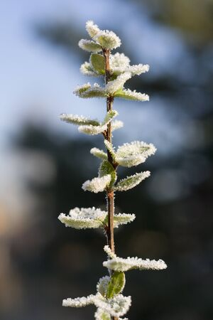barberry: Branch of barberry in frost.