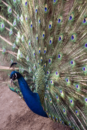 flaunt: The male peacock (Pavo Linnaeus) with tail disclosed Stock Photo