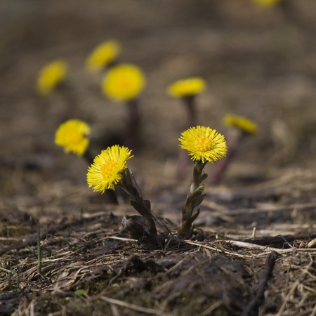Tussilago farfara - the first flowers of the early spring photo