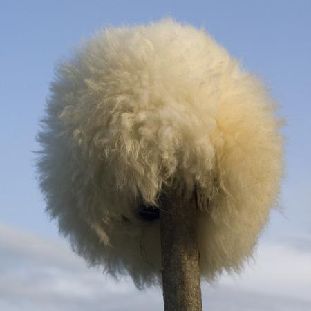 papakha: Papakha - Caucasian national mens headwear from sheep fur Stock Photo