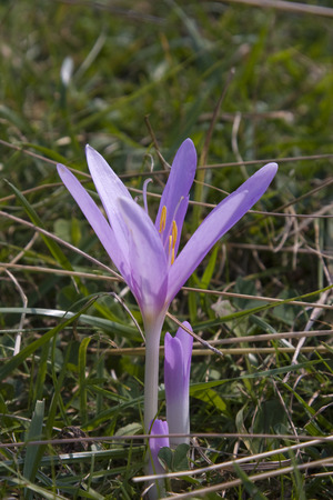 colchicum autumnale: Blooming wildflowers ( colchicum autumnale ).