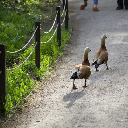 two ducks: Two ducks walking on a path.