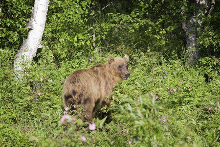 kamchatka: Bear in the wild, Kamchatka, Russia. Stock Photo