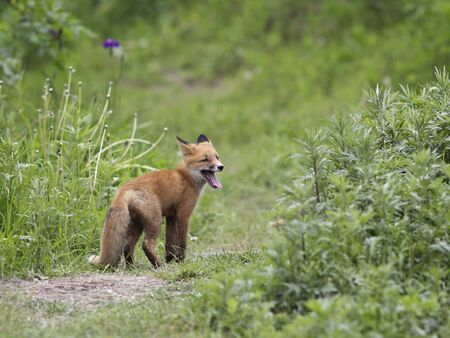 canny: One a little fox in the wild