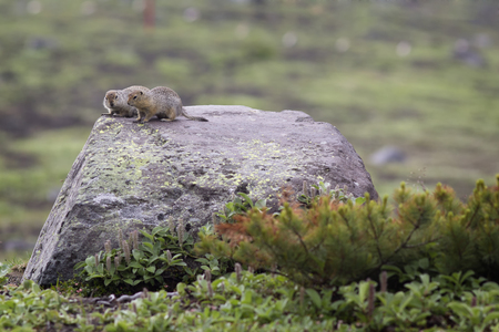 sitting on the ground: Two ground squirrel sitting on a rock
