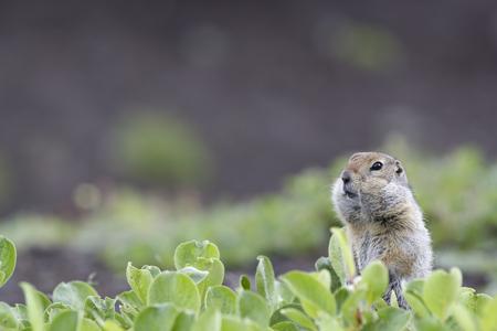 groundhog: A ground squirrel (Spermophilus or Citellus) in the grass.