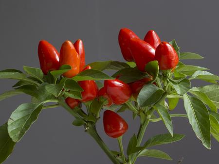 Wachsende rote Peperoni (Chili).