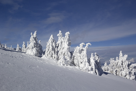 serbia xmas: Fir trees covered with snow.