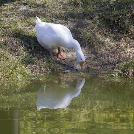 agachado: ganso blanco mira a la reflexión en el agua.