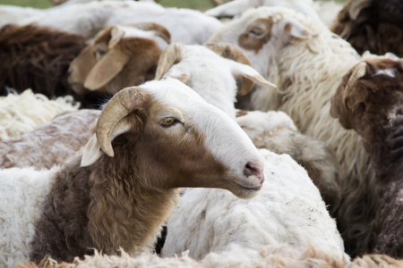 paddock: A flock of sheep in the paddock. Stock Photo