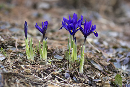 iris reticulata: Small blue irises blossoming in early spring.