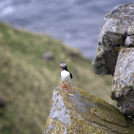Puffin (Fratercula arctica), RUNDE, Norway. Stock Photo