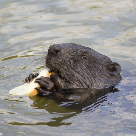 The beaver eats a piece of bread. Stock Photo
