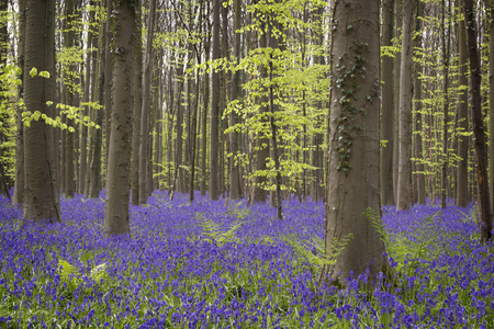 Magical forest. The blossoms of wild hyacinths.Hallerbos, Belgium.
