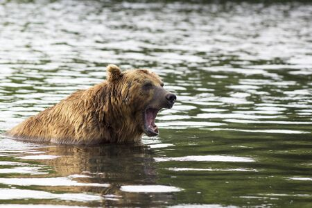 Brown bear in water growls menacingly. Kamchatka, Russia Stock Photo