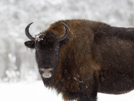 One bison standing in the woods during a snowfall. Russia, Kaluga region