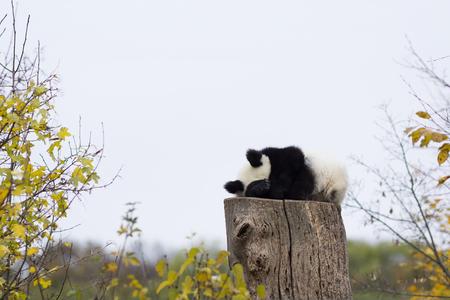 Panda bear sleeps on a high stump.