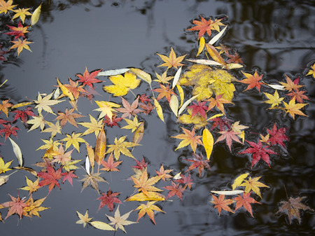 Colorful autumn foliage on the surface of the pond.