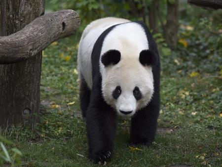 Panda bear goes through the forest Reklamní fotografie