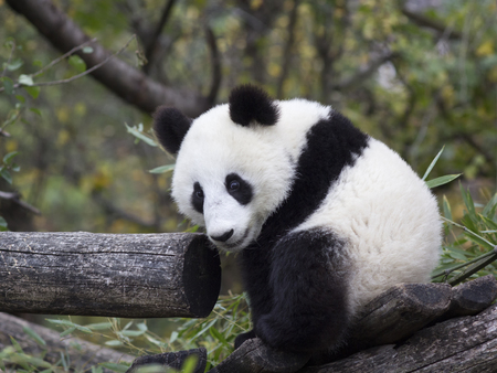 Young Panda bear sitting in the branches.