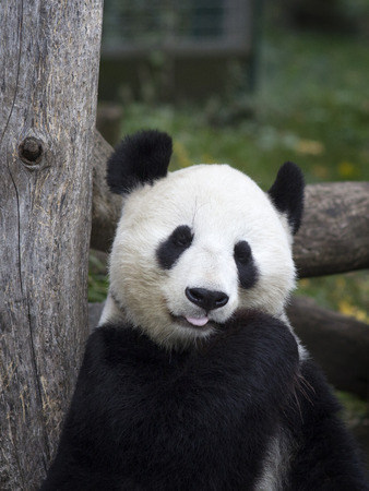 Big Panda at the zoo