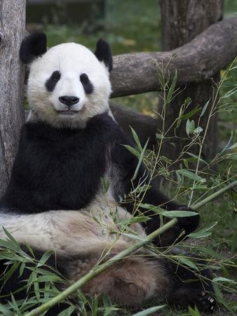 Big Panda at the Vienna zoo, Austria.