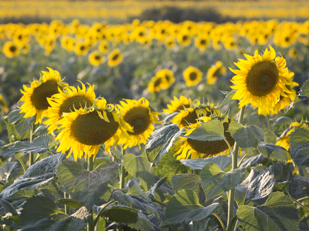 Rural field with flowering sunflowers.