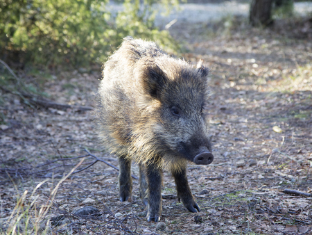 Small wild boar in the forest.