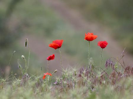Wild poppies blooming in the desert Reklamní fotografie